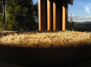 Infant Wheatgrass