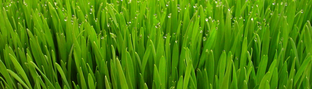 Vibrant Wheatgrass with dew drops