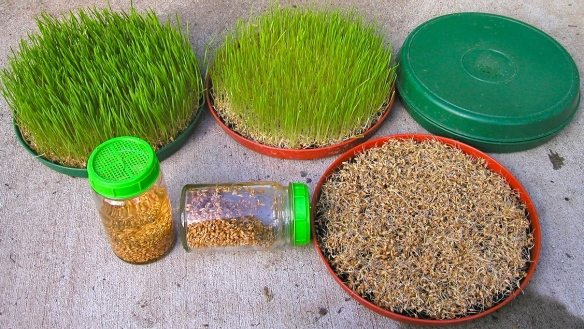 Wheatgrass Instructions